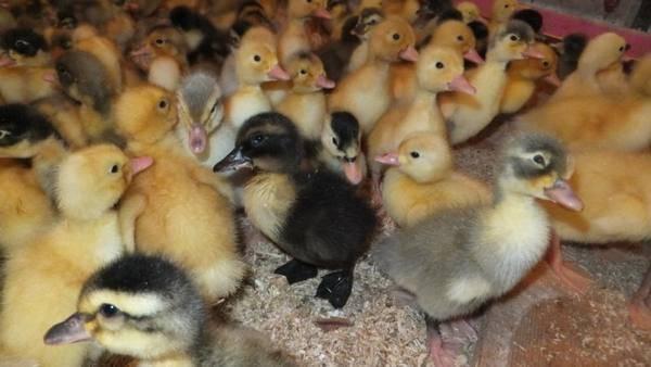 Почему гусята выщипывают пух друг у друга — рассмотрим все нюансы