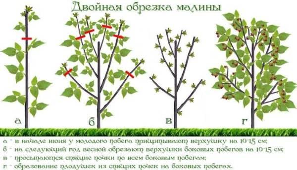 Обрезка малины осенью: советы для начинающих садоводов по подрезке многокостянки в картинках, на какую высоту обрезать кусты, чтобы был хороший урожай