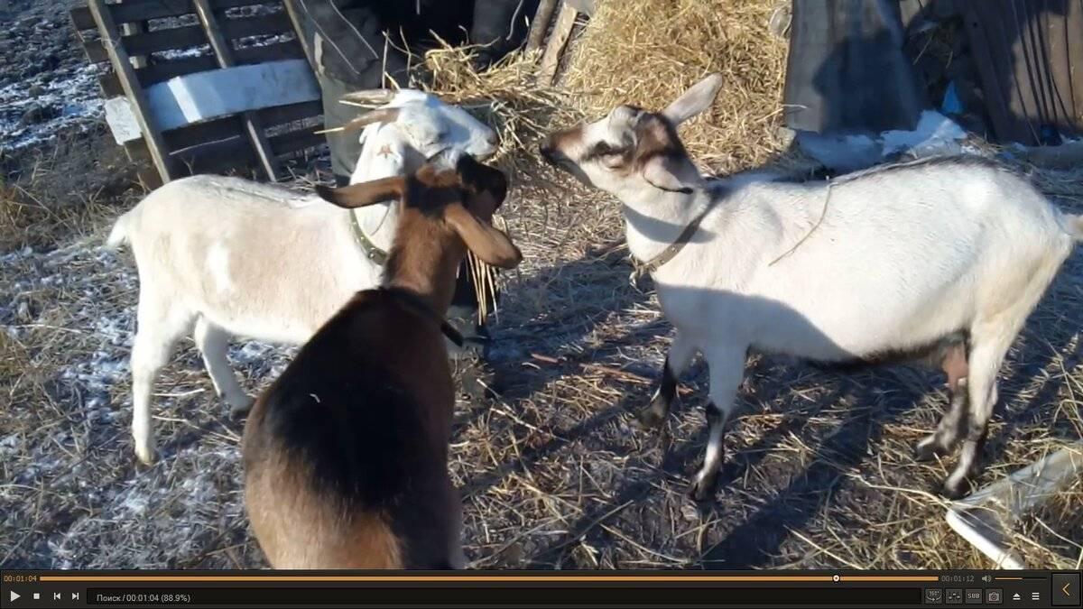 Симптомы болезней у козлят и методы их лечения, способы профилактики