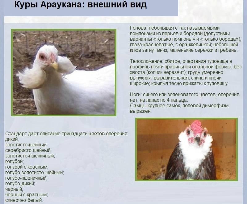 Араукана порода кур. описание, особенности, виды, уход и содержание птицы | живность.ру