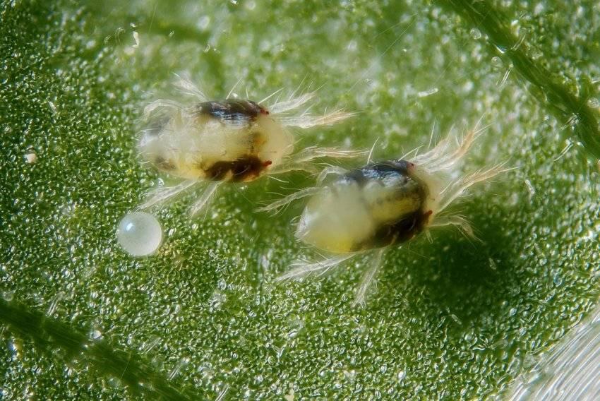 Что делать, если перцы в паутине: меры борьбы с паутинным клещом