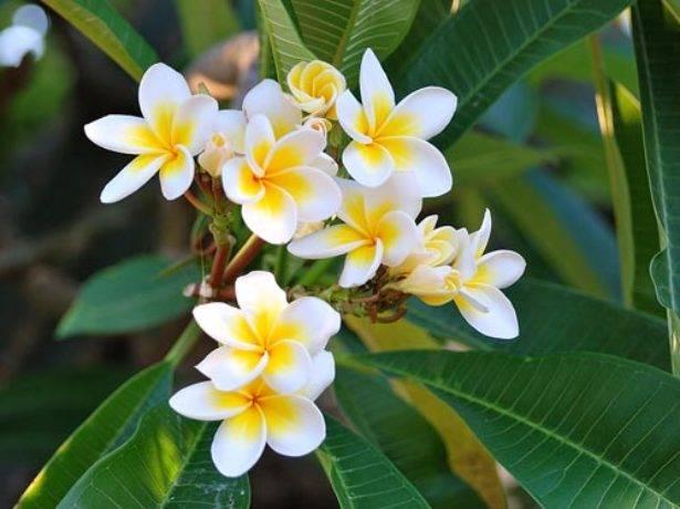 Плюмерия в доме: условия по уходу за цветком и примеры выращивания из семян