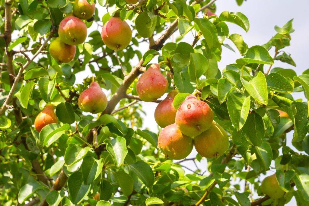 Груша - описание 24 лучших сортов, отзывы садоводов | фото