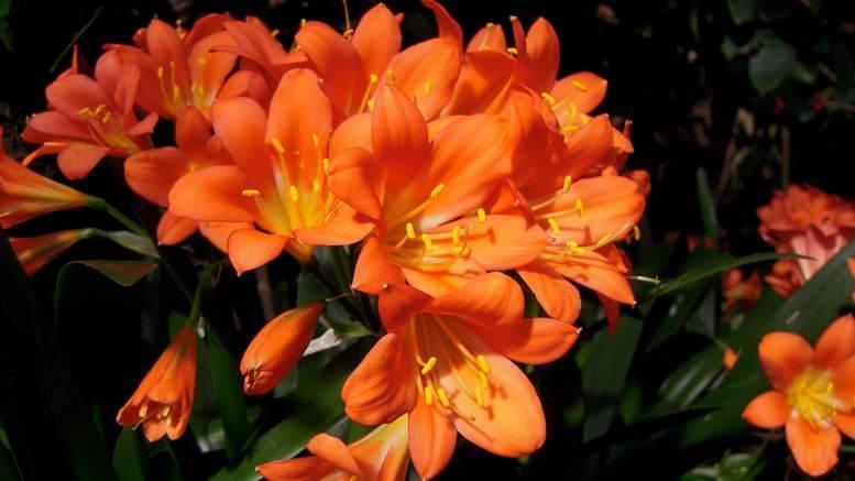 Кливия в домашних условиях: уход, посадка и размножение