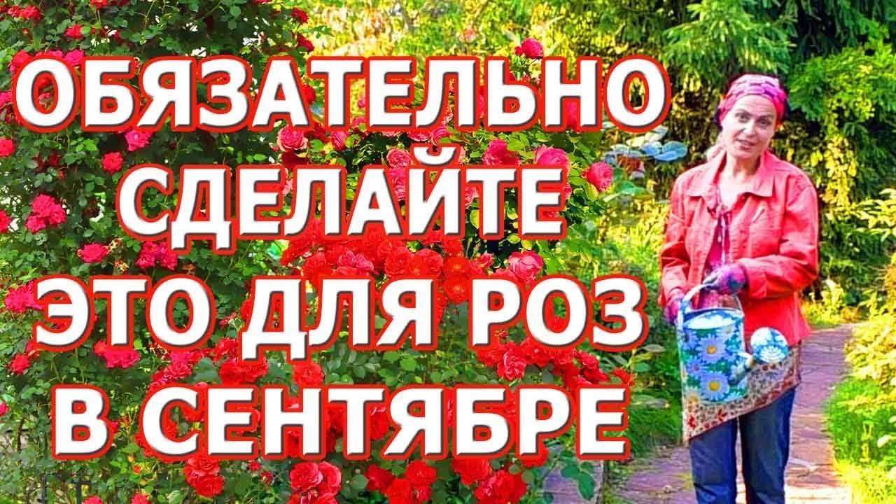 Как и чем подкормить розы осенью: удобрения, правила, схемы, сроки подкормки