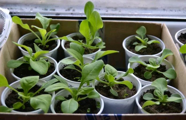 Выращивание петунии в горшке или кашпо. когда пересаживать после всходов?