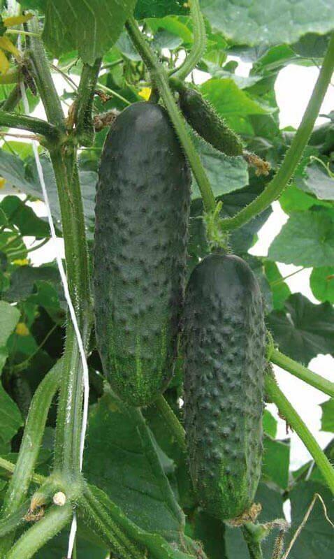 Сорт огурцов св 4097 цв f1: описание, характеристика и отзывы, фото, а также особенности выращивания