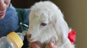 Кормление овец - содержание овец на мясо и рацион суягных маток и ягнят