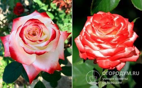 Роза императрица фарах: описание и выращивание сорта