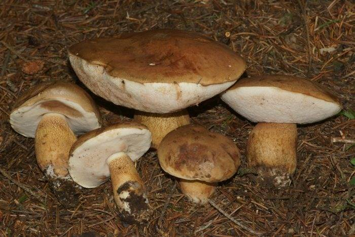 Ложный подберезовик: как он выглядит и как отличить его от съедобного гриба?