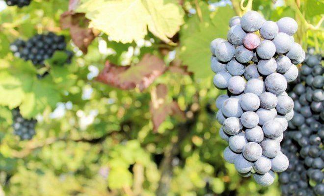 Виноград московский белый: правила агротехники безукрывного сорта