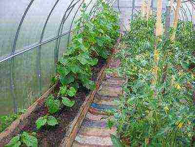 Как в теплице правильно посадить вместе перец, томаты и огурцы (фото): советы