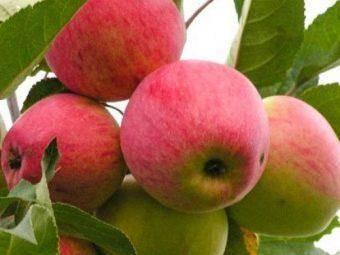 Сорт яблони мечта: описание, фото