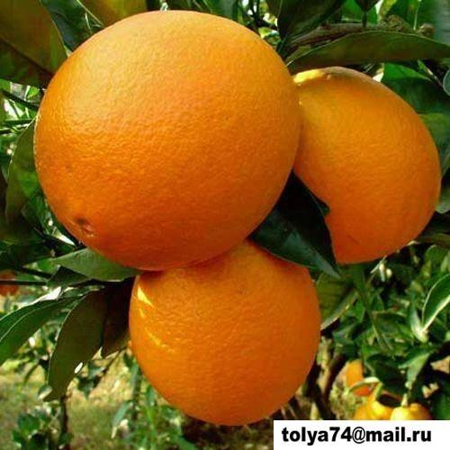 Как выращивать апельсин в домашних условиях?