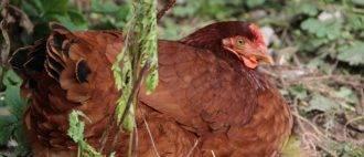 Кокцидиоз у кур – симптомы, лечение и профилактика