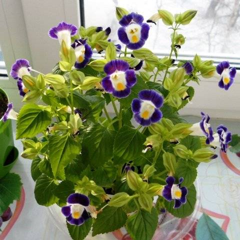 Цветок торения выращивание из семян в домашних условиях фото видов и сортов посадка и уход