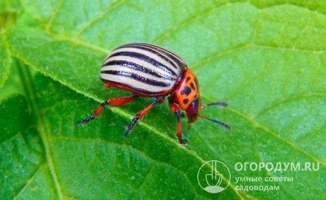 Колорадский жук: описание, способы борьбы, эффективные препараты, ловушки, народные средства