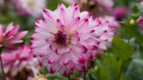 Цветы сентябринки посадка и уход размножение как посадить сентябринки весной и осенью