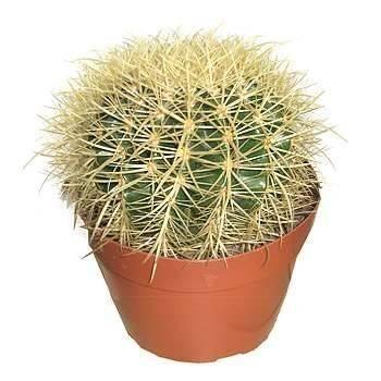 Как поливать и ухаживать за кактусом в домашних условиях