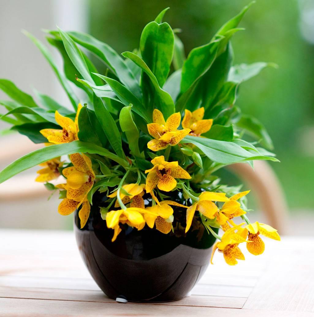 Уход за орхидеей Променея