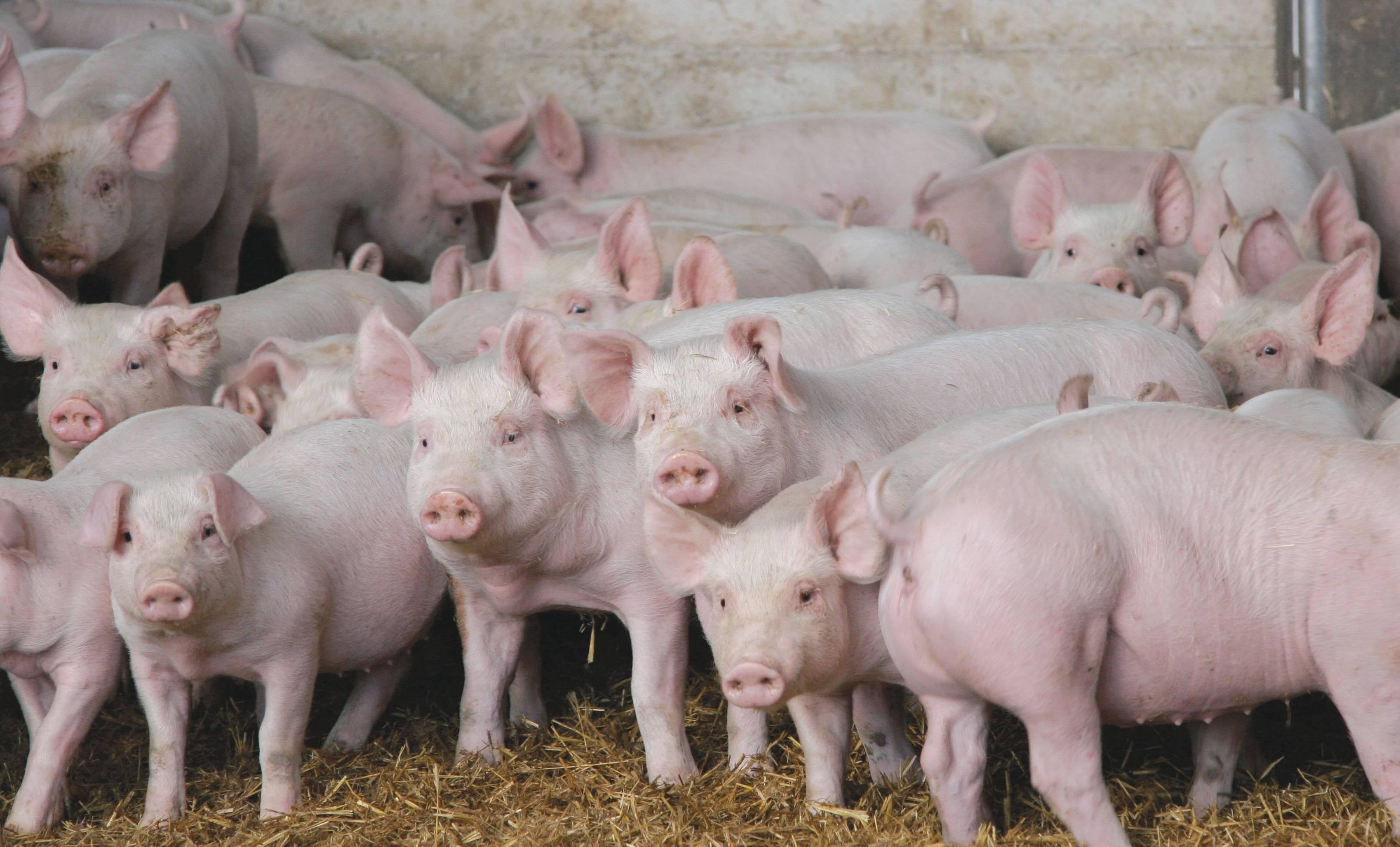 Разведение свиней как бизнес - выгодно или нет: с чего начать, как преуспеть + стратегия бизнеса, анализ рынка и нюансы
