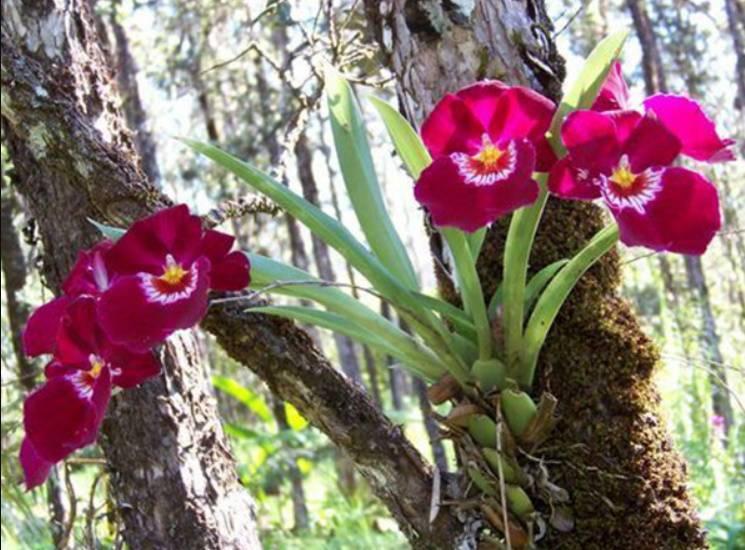 Орхидея «Мильтония»: описание, фото, уход в домашних условиях