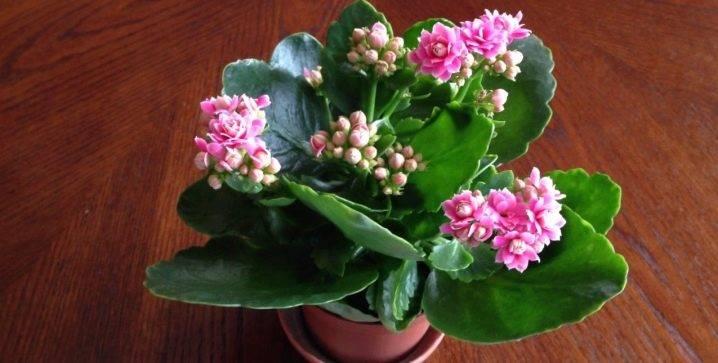 Каланхоэ— виды, выращивание и уход