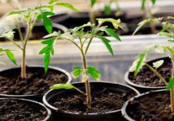 Какие бывают болезни рассады томатов: распознавание их по фото с описанием и способы лечения