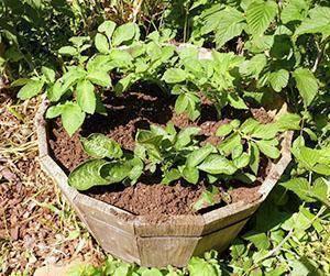 Принцип выращивания картофеля в бочке