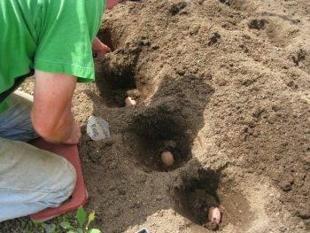 Норма посадки картофеля на 1 сотку и гектар в штуках и килограммах