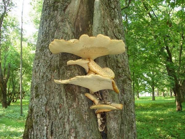 Древесные грибы: описание, польза и вред, съедобные белые и поделки из них