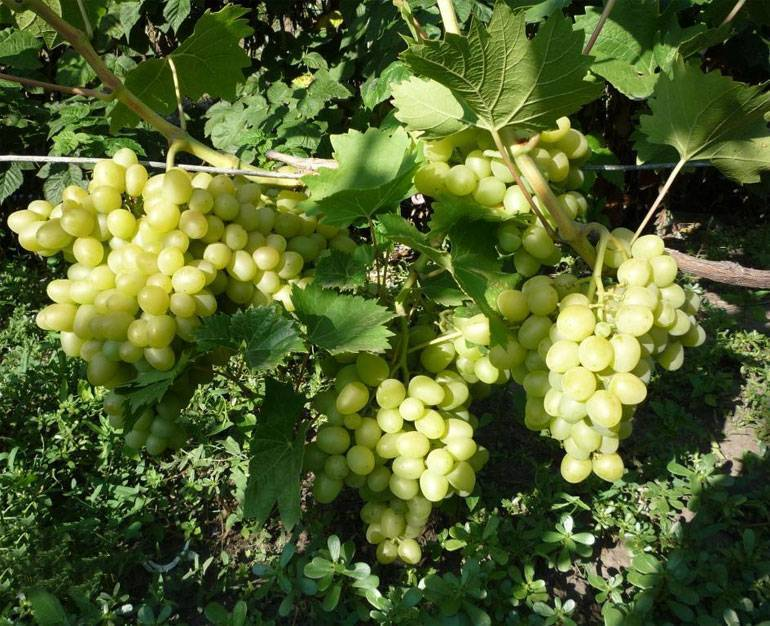 Виноград аркадия: описание сорта, обрезка, отзывы