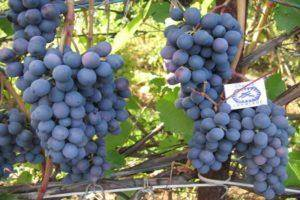 Сорт винограда супер триумф | мой сад и огород