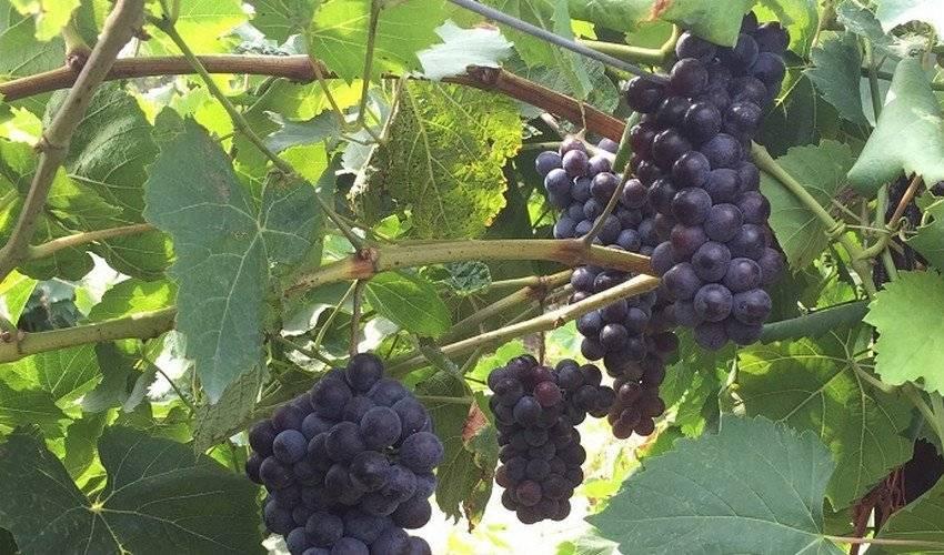 Виноград мускат - преимущества сорта, правила выращивания и его обработка (110 фото)