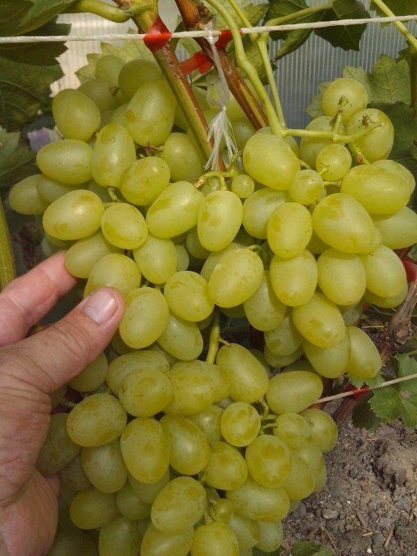 Виноград «надежда азос»: описание сорта, фото и отзывы. основные плюсы и минусы, хранение урожая, аналоги, характеристики и особенности выращивания в регионах