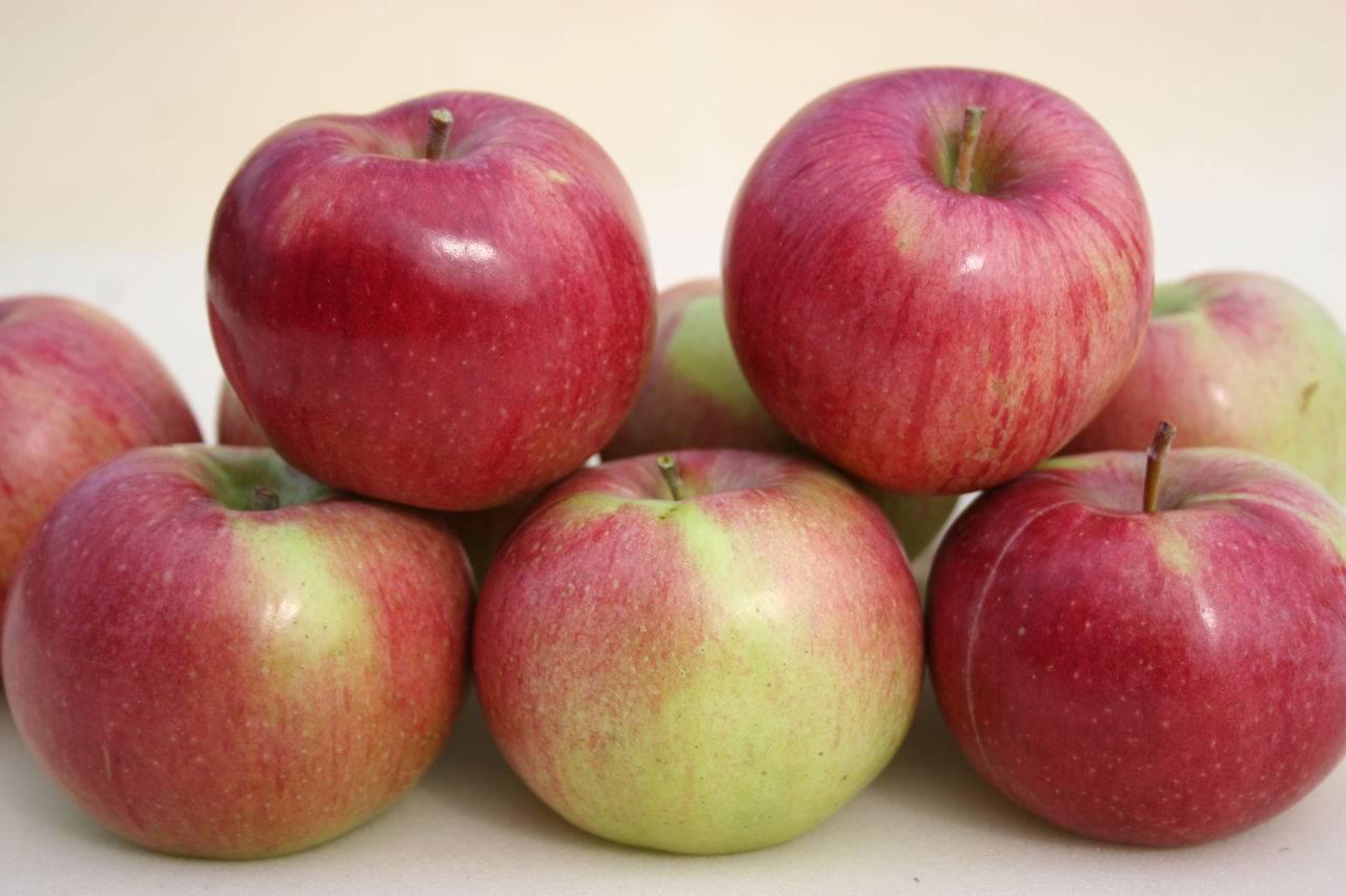 Яблоня память мичурина — описание сорта, фото, отзывы