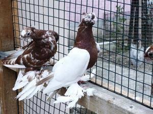 Узбекские голуби: описание, разновидности, содержание