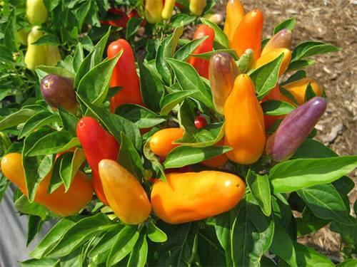 Чем подкормить перцы после высадки в грунт, во время цветения и плодоношения