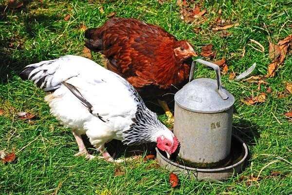 Как правильно сделать поилку для цыплят с пластиковой бутылки своими руками