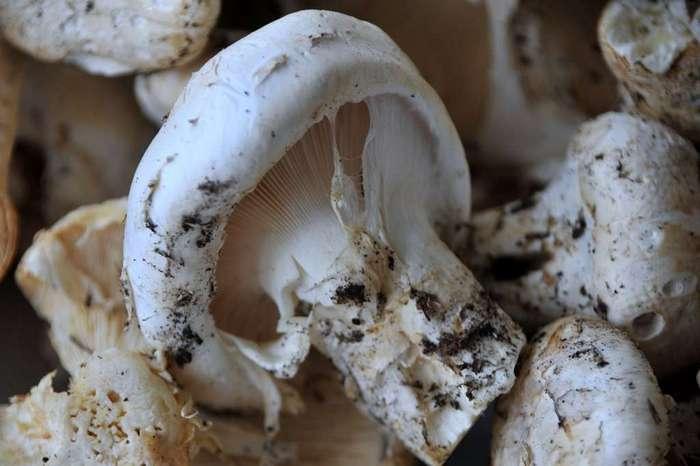 Грибы мацутакэ - самые дорогие японские грибы: фото, где растет