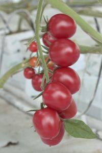 Сладкие сорта черри: описание, томаты с фруктовым вкусом