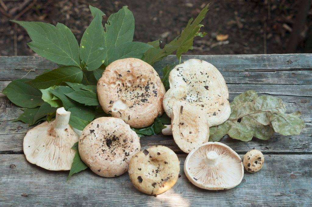Ложные грузди: похожие грибы, описание, фото