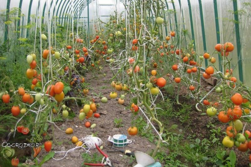 Подвязка помидоров: чем и как подвязывать томаты в теплице