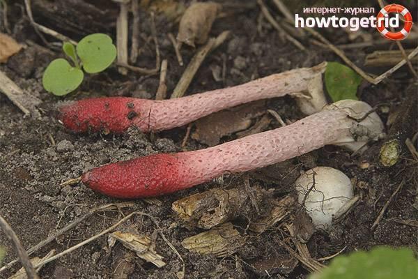 Мутинус собачий – вонючий гриб