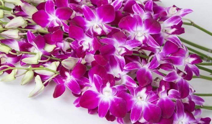 Как выращивать орхидею камбрия в домашних условиях: особенности
