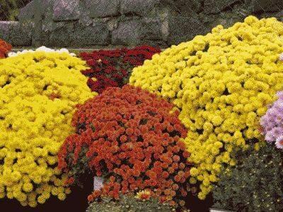 Хризантема кустовая: разновидности, посадка и уход, размножение - sadovnikam.ru