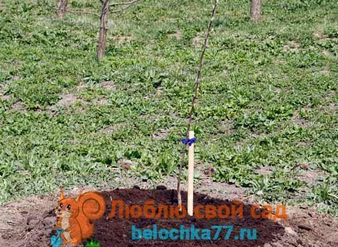 Как посадить яблоню осенью? пошаговое руководство, время и правила посадки саженца молодой яблони