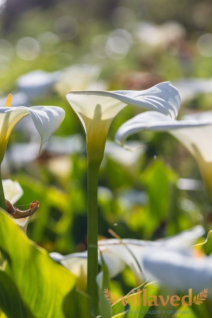 Выращивание и уход за каллами садовыми в открытом грунте: как правильно сажать
