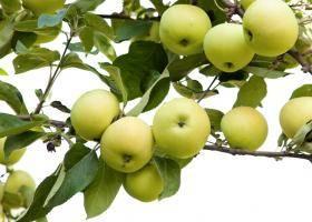 Яблоки белый налив: описание сорта и полезные свойства плодов