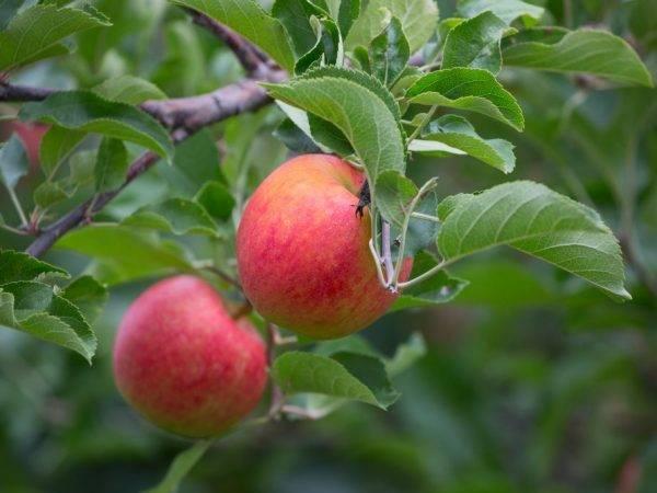Яблоня слава победителям: описание сорта, фото, отзывы, опылители, характеристика, калорийность, вкус